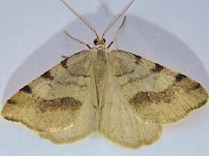 Speranza occiduaria