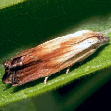 Eucosma ferruginana
