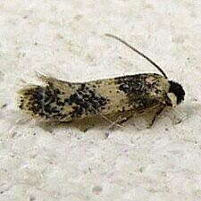 Ectoedemia sp