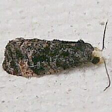 Cochylini sp.