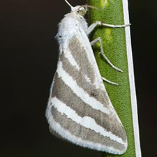 Euaspilates spinataria
