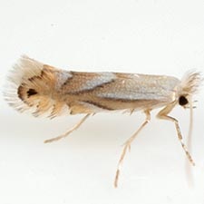 Phyllonorycter obscuricostella