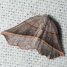 Metanema determinata