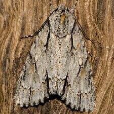 Acronicta thoracica