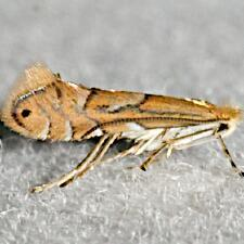 Phyllonorycter sp