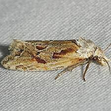 Aethes triassumenta