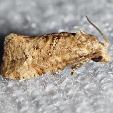 Cochylini sp
