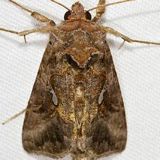 Autographa precationis