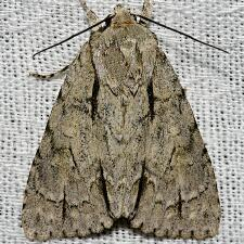Acronicta laetifica