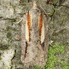 Acleris youngana