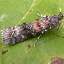Dioryctria zimmermani