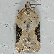 Acleris sp