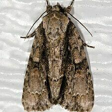 Acronicta connecta