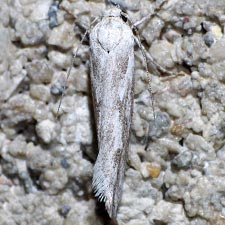 Ethmia angustalatella