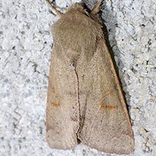 Orthosia annulimacula