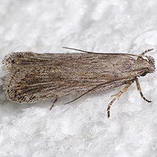 Filatima striatella
