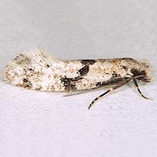 Nemapogon geniculatella