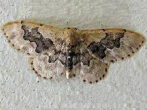 Idaea occidentaria