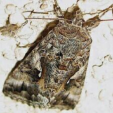Autographa californica