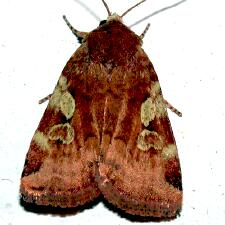 Cryptocala acadiensis