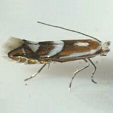 Phyllonorycter propinquinella
