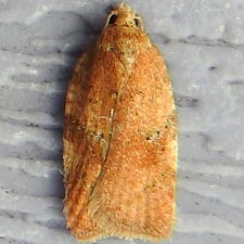 Acleris stadiana