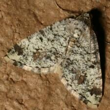 Digrammia sp