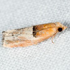 Epinotia johnsonana