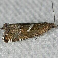Grapholita sp