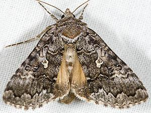 Syngrapha celsa