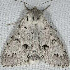 Acronicta vulpina