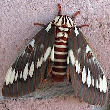 Citheronia splendens