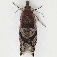 Ancylis pacificana