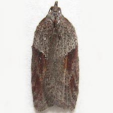 Acleris bowmanana