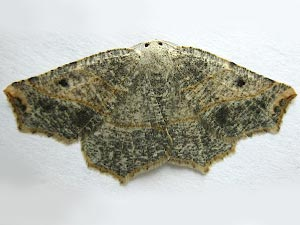 Metanema brunneilinearia
