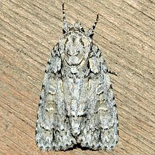 Acronicta clarescens