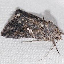 Moth Photographers Group – Trichoplusia ni – 8887