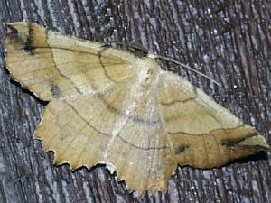 Euchlaena johnsonaria