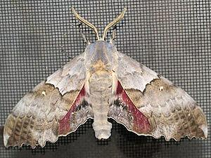 Pachysphinx occidentalis