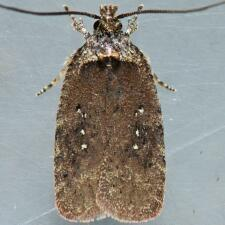 Agonopterix clemensella