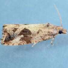Endothenia nubilana