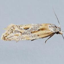 Aethes sp.
