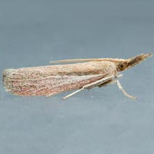 Peoria bipartitella