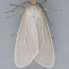 Cycnia collaris