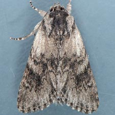 Acronicta othello