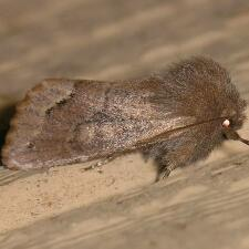 Orthosia garmani