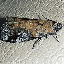 Acrobasis caliginella