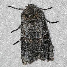 Litholomia napaea