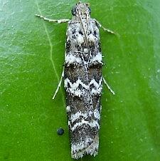 Dioryctria amatella