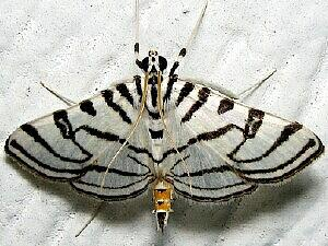 Conchylodes ovulalis
